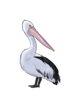 australian pelican copy