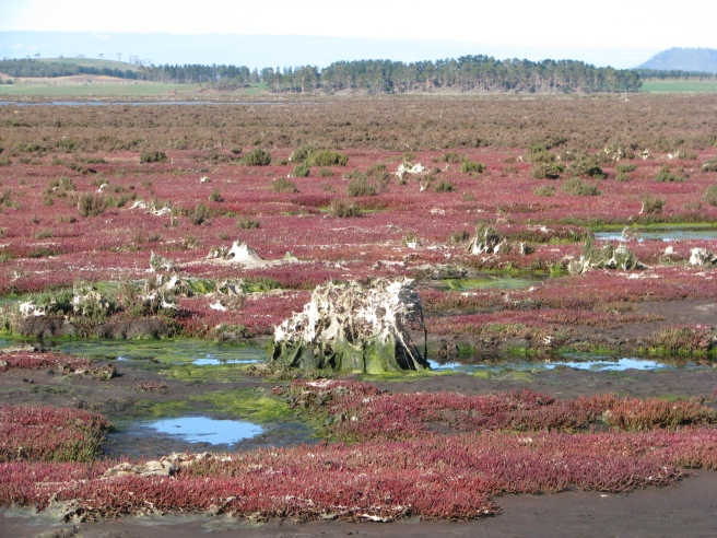 Filamentous algae on saltmarsh