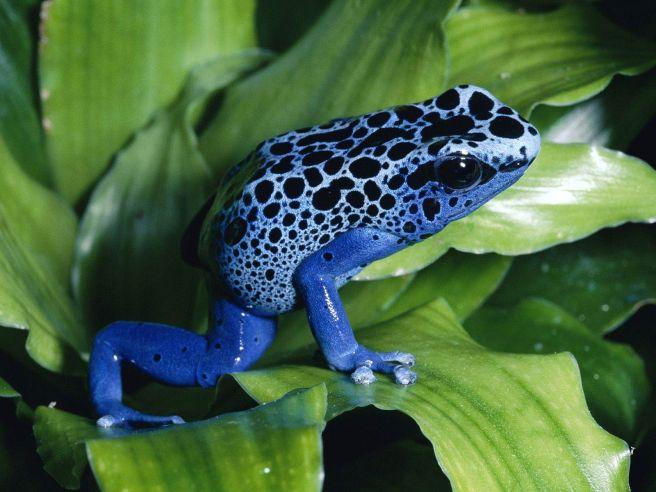 poison-dart-frog-wp-1