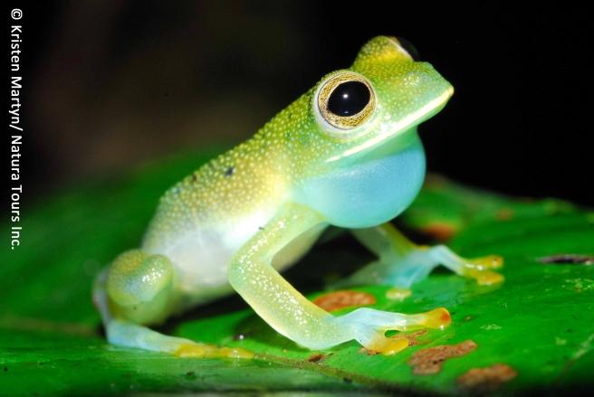 granular-glass-frog-cochranella-granulosa-kristen-martyn-flickr